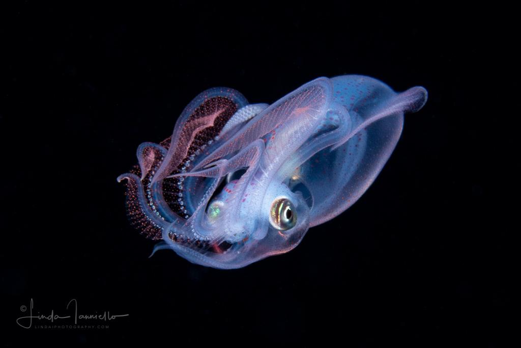 Diamond Squid - Thysanoteuthis rhombus