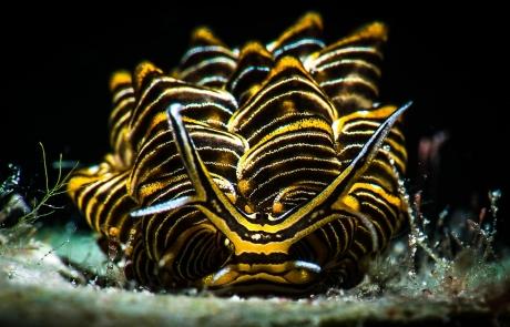 Cyerce nigra nudibranch